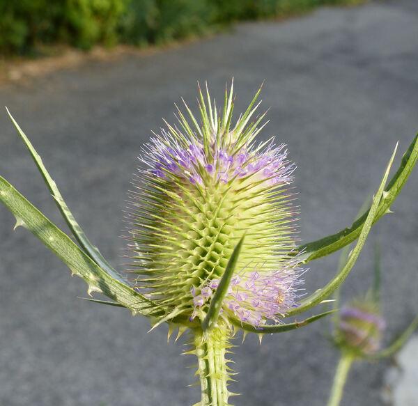 Dipsacus fullonum L. subsp. fullonum