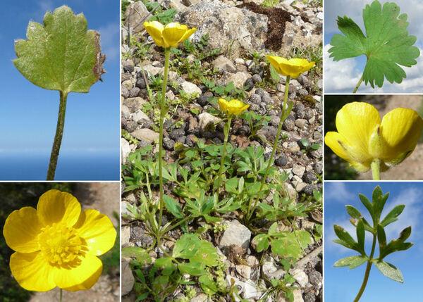 Ranunculus paludosus Poir.