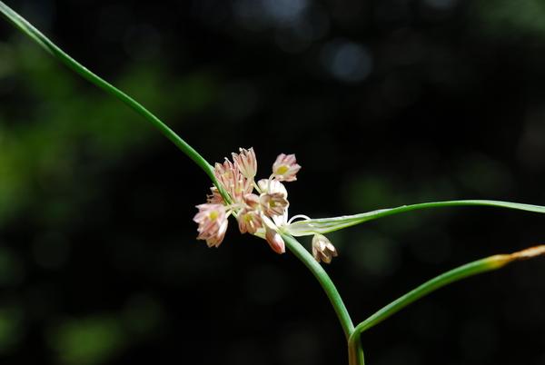 Allium calabrum (N.Terracc.) Brullo, Pavone & Salmeri