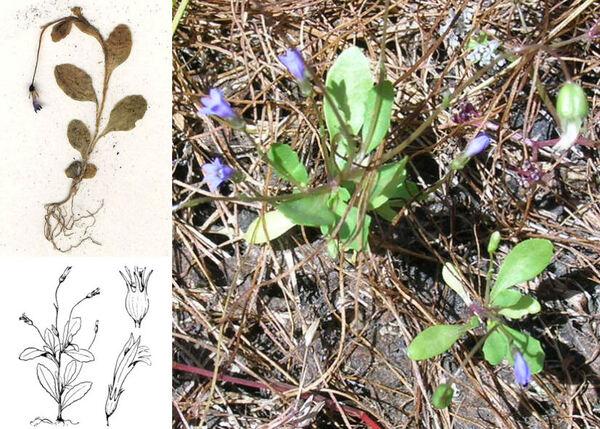 Solenopsis laurentia (L.) C.Presl