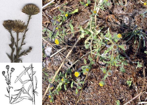 Pulicaria sicula (L.) Moris