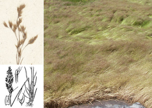 Agrostis pourretii Willd.
