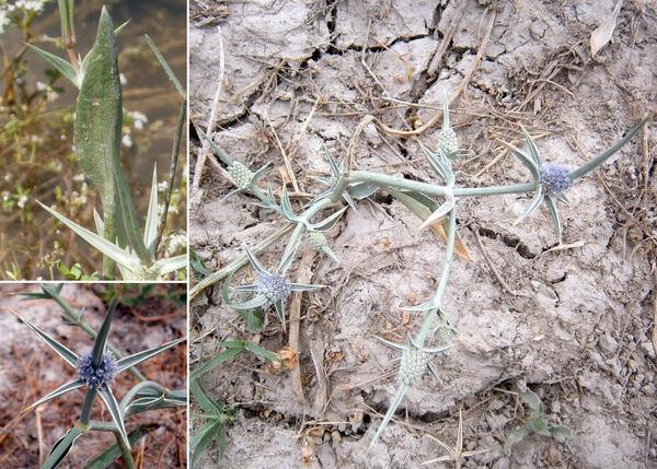 Eryngium corniculatum Lam.