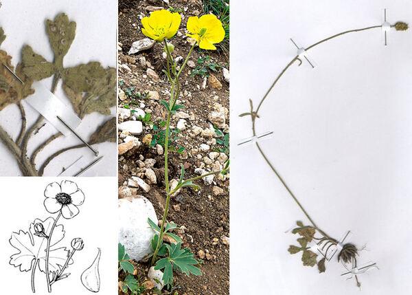 Ranunculus monspeliacus L. subsp. monspeliacus