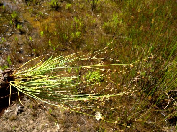Juncus tenageia L.f. subsp. tenageia