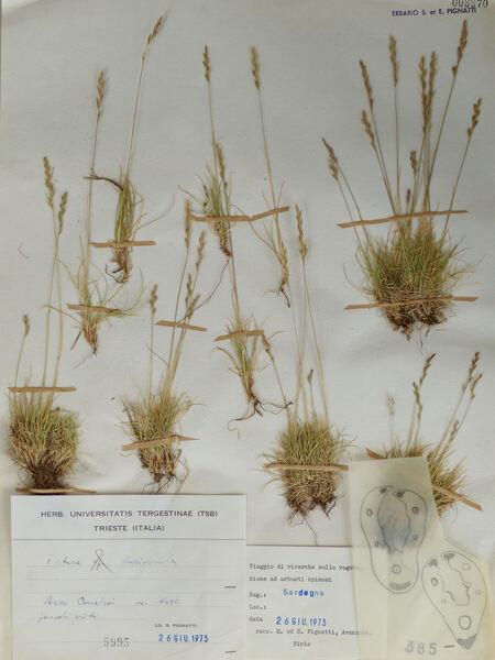 Festuca morisiana Parl. subsp. morisiana