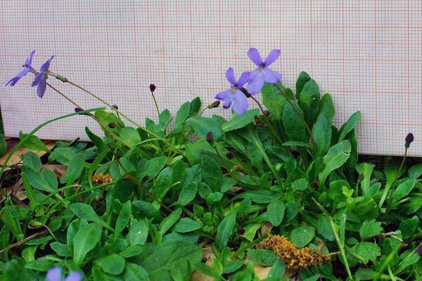 Solenopsis bivonae (Tineo) M.B.Crespo, Serra & Juan