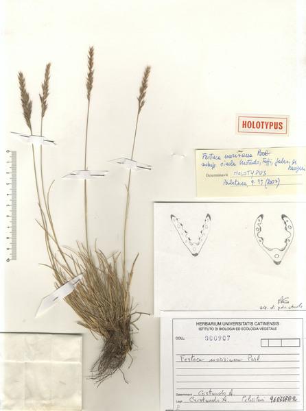 Festuca morisiana Parl. subsp. sicula Cristaudo, Foggi, Galesi & Maugeri