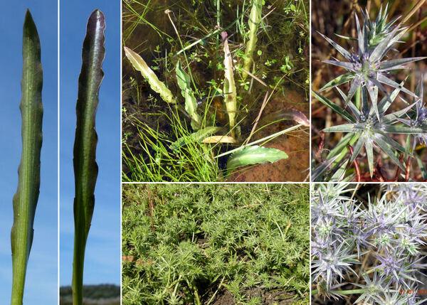 Eryngium pusillum L.