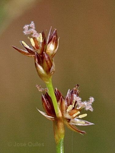 Juncus fontanesii J.Gay subsp. fontanesii
