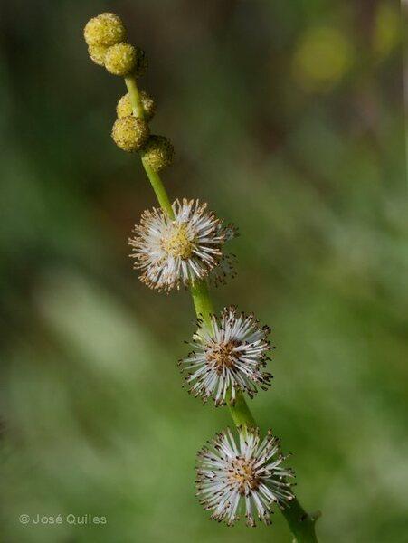 Sparganium neglectum Beeby