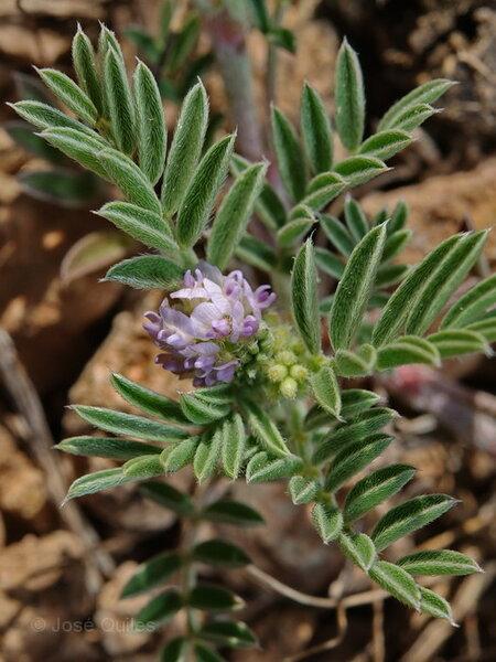 Astragalus epiglottis L. subsp. epiglottis