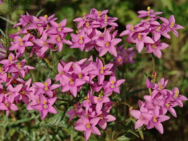 Centaurium grandiflorum (Pers.) Ronniger subsp. majus (Hoffmanns. & Link) Z.Díaz