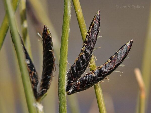 Cyperus distachyos All.