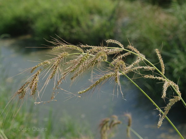 Echinochloa oryzicola (Vasinger) Vasinger