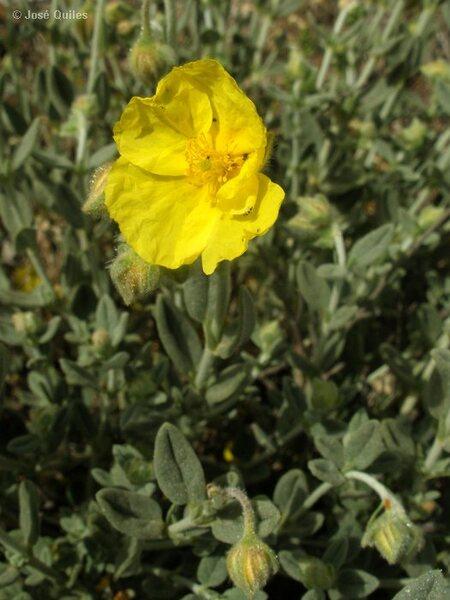 Helianthemum croceum (Desf.) Pers.