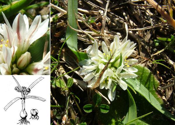 Allium chamaemoly L. subsp. chamaemoly