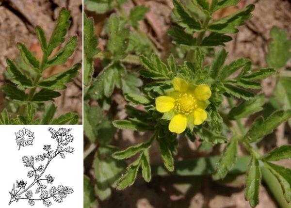 Potentilla supina L. subsp. supina