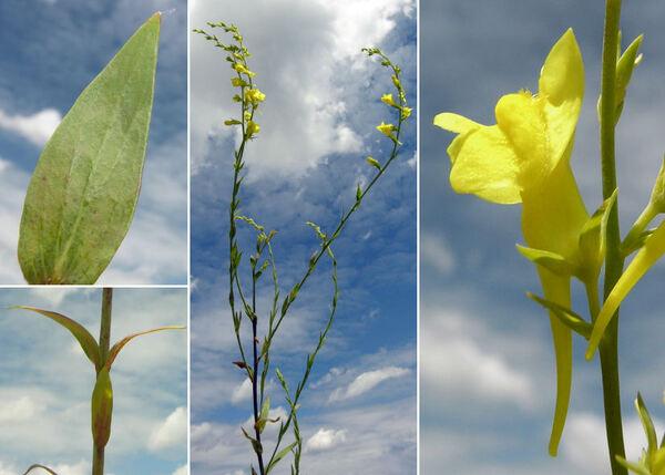Linaria genistifolia (L.) Mill.