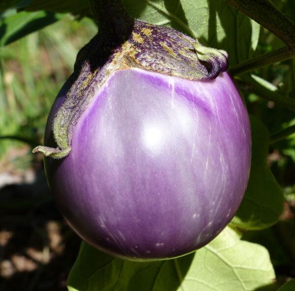 Solanum melongena L. 'Violetta F1'