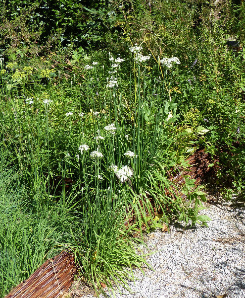 Allium tuberosum Rottler ex Spreng.