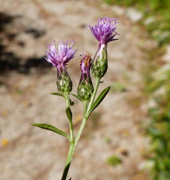 Serratula tinctoria L. subsp. tinctoria