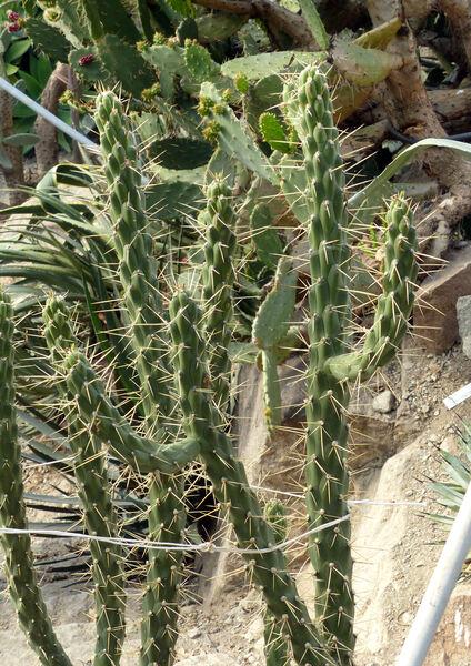 Austrocylindropuntia subulata (Muehlenpf.) Backeb.