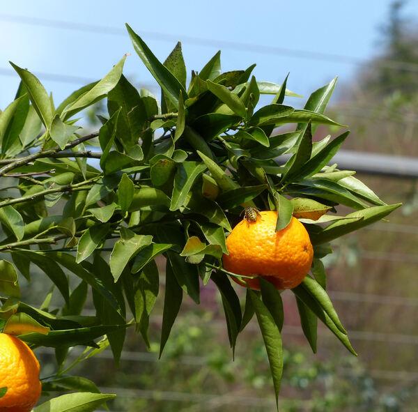 Citrus reticulata Blanco