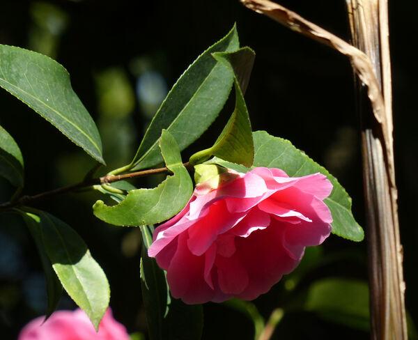 Camellia reticulata Lindl. 'Valley Knudsen'