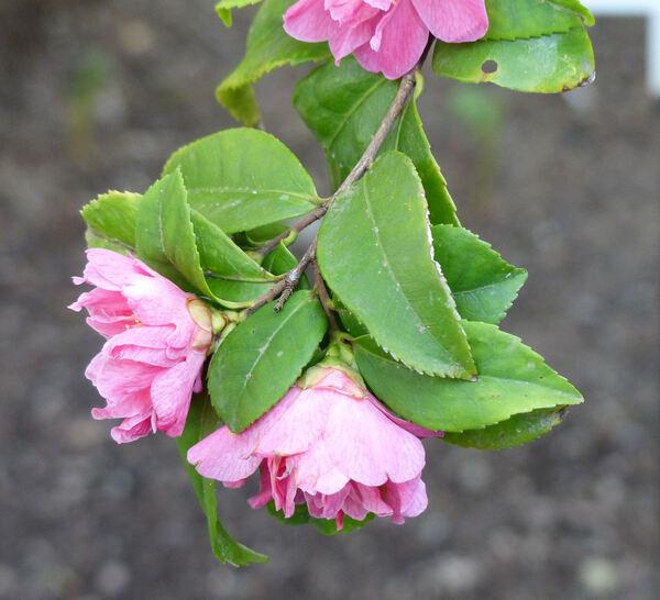 Camellia lutchuensis T.Itô 'Fragrant Pink'