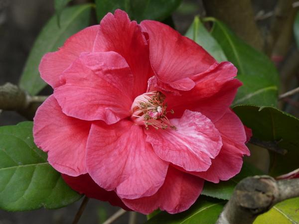 Camellia reticulata Lindl. 'Miss Tulare'