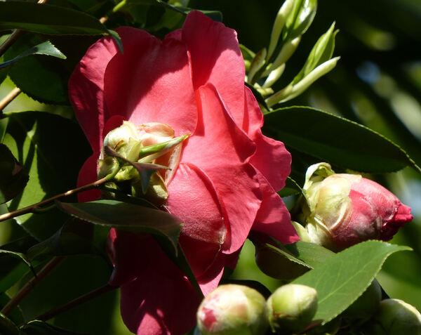 Camellia japonica L. 'R. L. Wheeler'