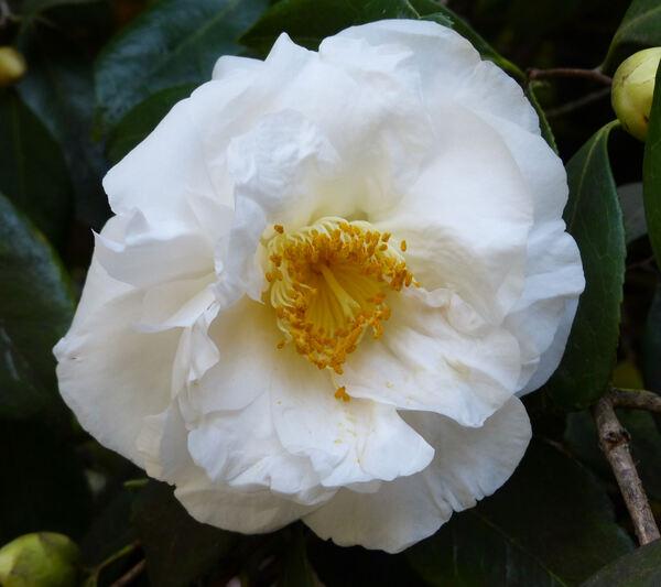 Camellia japonica L. 'Coronation'