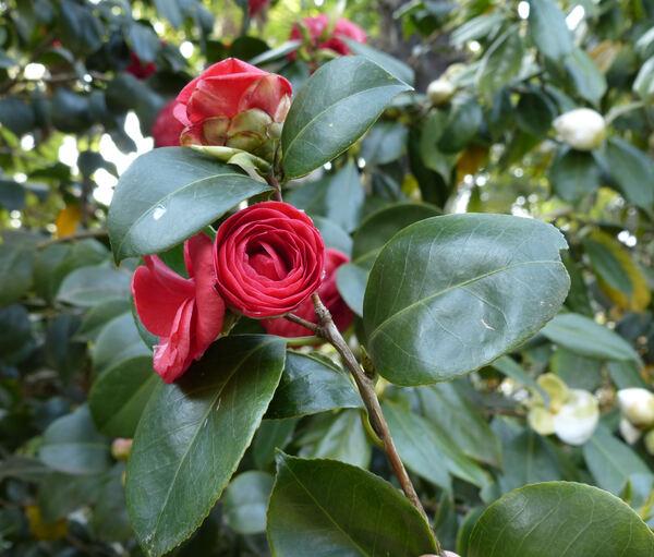 Camellia japonica L. 'Margherita Colleoni'