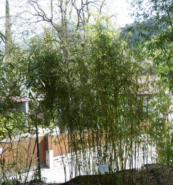Fargesia robusta T. P. Yi