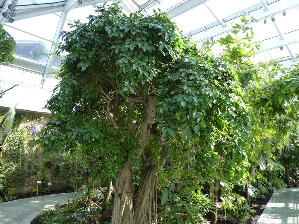 Ficus nítida Thunb.