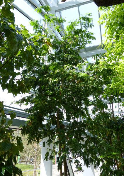 Bulnesia arborea (Jacq.) Engl.