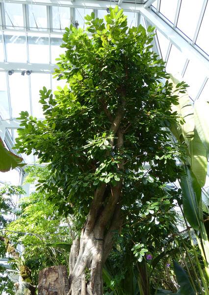 Ficus altissima Blume