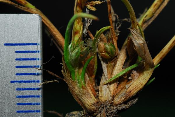 Schoenoplectiella supina (L.) Lye