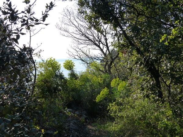 Euphorbia characias L. subsp. wulfenii (Hoppe ex W. D. J. Koch) Radcl.-Sm.