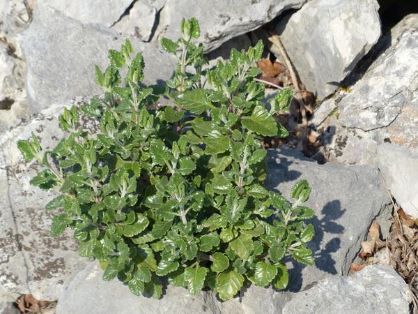 Teucrium flavum L.