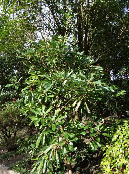 Daphniphyllum macropodum Miq.