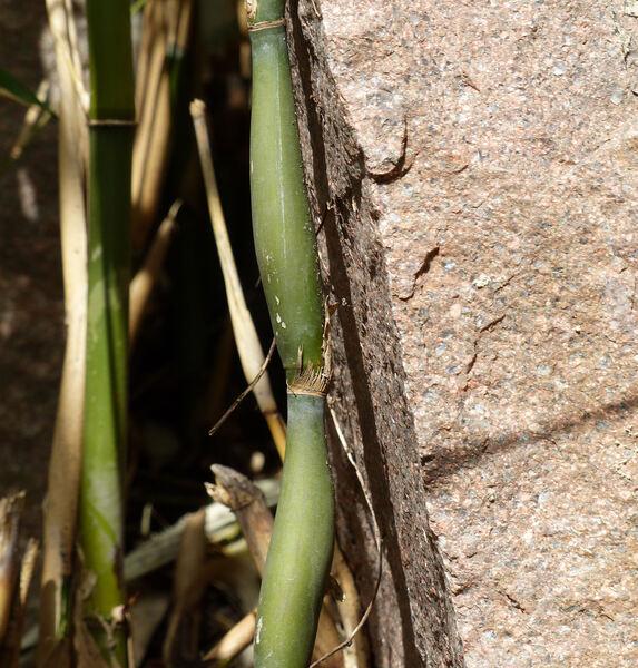 Pseudosasa japonica (Siebold & Zucc. ex Steud.) Makino ex Nakai 'Tsutsumiana'
