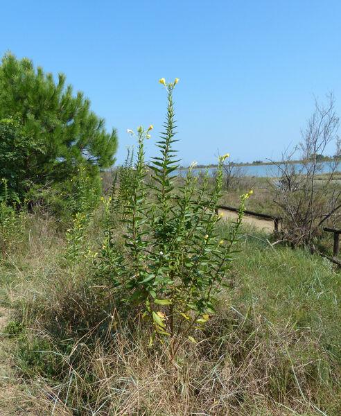 Oenothera stucchii Soldano