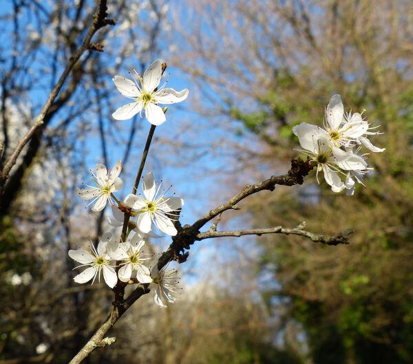 Prunus mahaleb L. subsp. fiumana Pénzes