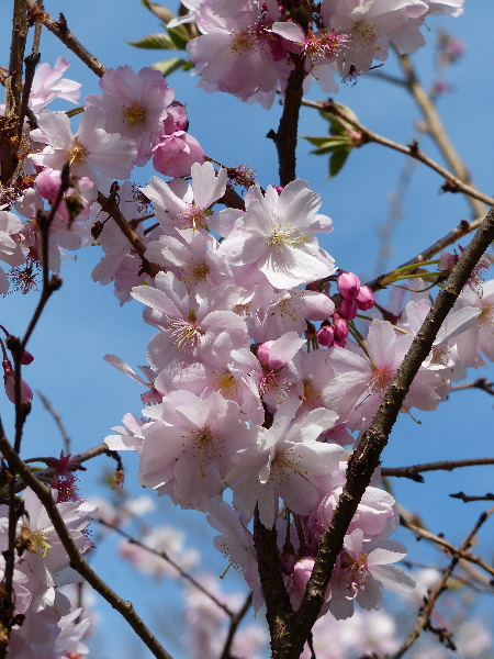 Prunus sp.