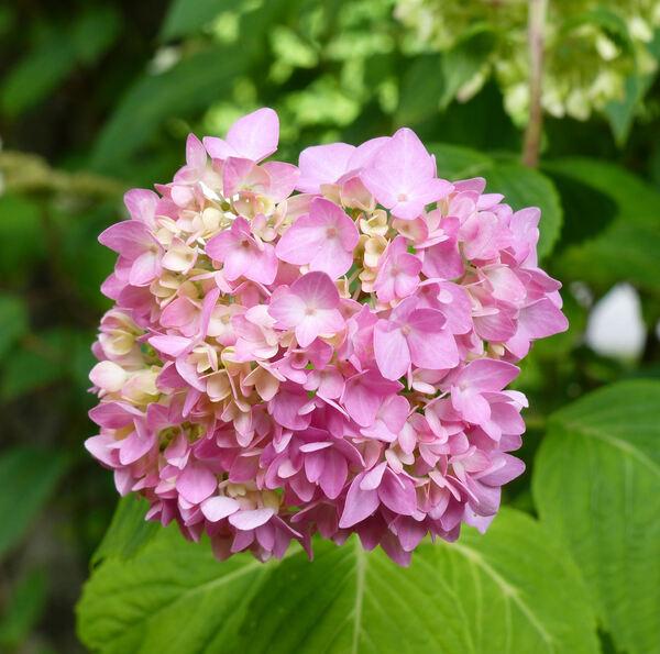 Hydrangea serrata (Thunb.) Ser. 'Rosea'