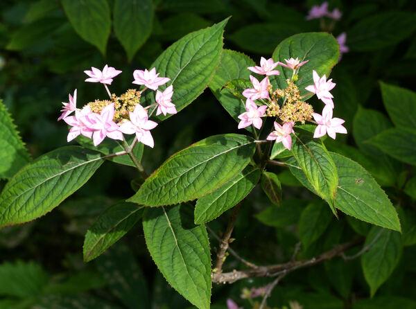Hydrangea serrata (Thunb.) Ser. 'Shichidanka-nishiki'