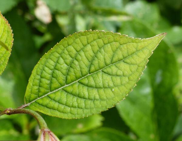 Hydrangea scandens (L.) DC. 'Luteovenosa'