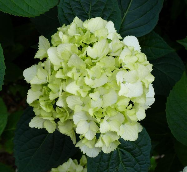 Hydrangea serrata (Thunb.) Ser. 'Beni Temari'